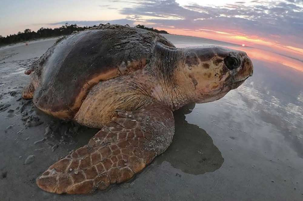 Provided by The Caretta Research Project